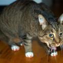Что делать, если мою кошку рвет