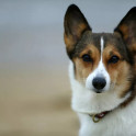 Сердечный червь у собак - профилактика и лечение