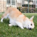 Почему собака трётся мордой о землю?