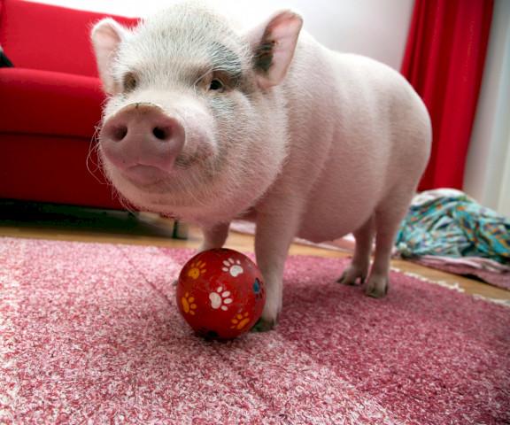 Домашняя свинья играет с мячиком