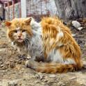 Выпадение волос у кошек (алопеция)