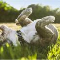 Почему собаки катаются на спине?