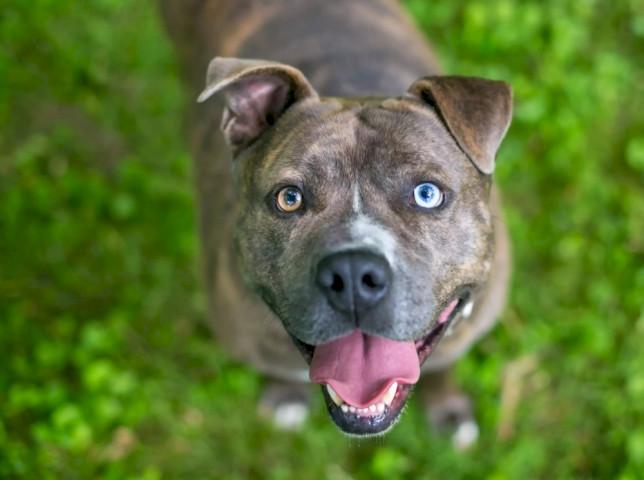 Питбуль еще одна собака часто рождаются с голубыми глазами , которые меняют цвет , когда они созревают. Однако голубоглазые зрелые питбули действительно существуют, часто сопровождая ямы с голубой, серой или тигровой шерстью. Название «питбуль» - это общий термин для пород, в которые входят американский стаффордширский терьер и американский питбультерьер . Эти «хулиганские породы» могут стать очень любящим дополнением к активной