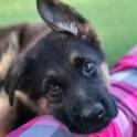 15 доказательств того, что немецкая овчарка - лучшая порода собак