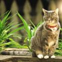 Сердечные черви у кошек
