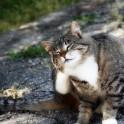 Кошачья чесотка : симптомы, признаки, причины и лечение
