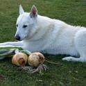 🧅 Отравление луком у собак