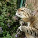 Кошачья мята - для чего она нужна и как использовать