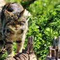 Бордетеллез у кошек