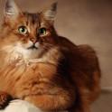 Гипертиреоз у кошек - симптомы и лечение