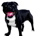 Чёрный пёс с белой грудкой
