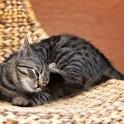 Воспаление кожи из-за аллергии (атопия) у кошек